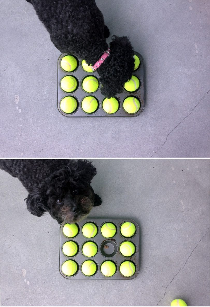 DIY Dog Games - This easy hide and see game uses an old muffin tin and tennis balls